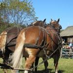 Draught horse team