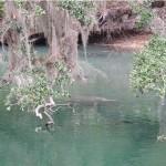 Alligator and manatee
