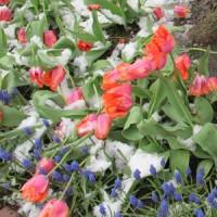Tulips and grape hyacinths