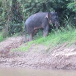 Rare elephant at Kinabatangan River
