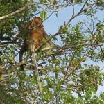 Bornean monkey