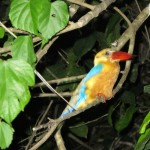 Colorful Bornean kingfisher